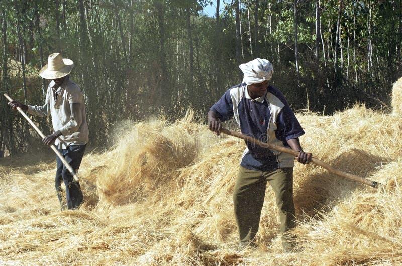 Raccolto di grano di trebbiatura etiopico del servo e dell'agricoltore fotografie stock libere da diritti