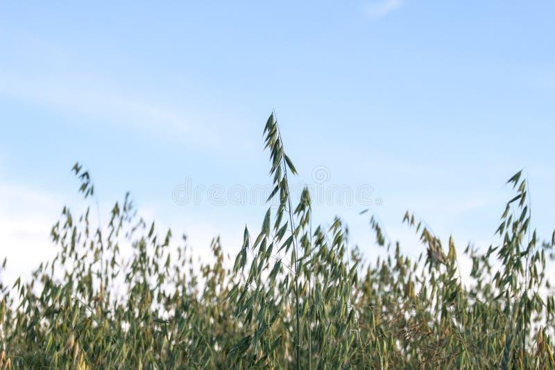 Raccolto di grano dorato nel campo fotografia stock libera da diritti