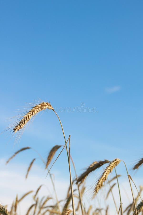 Raccolto di grano dorato nel campo immagini stock