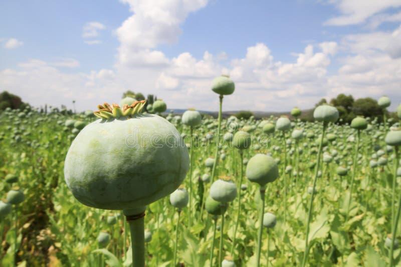 Raccolto di oppio dal papavero verde immagine stock libera da diritti