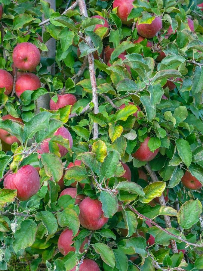 Raccolto enorme delle mele su di melo nella Loira fotografie stock libere da diritti