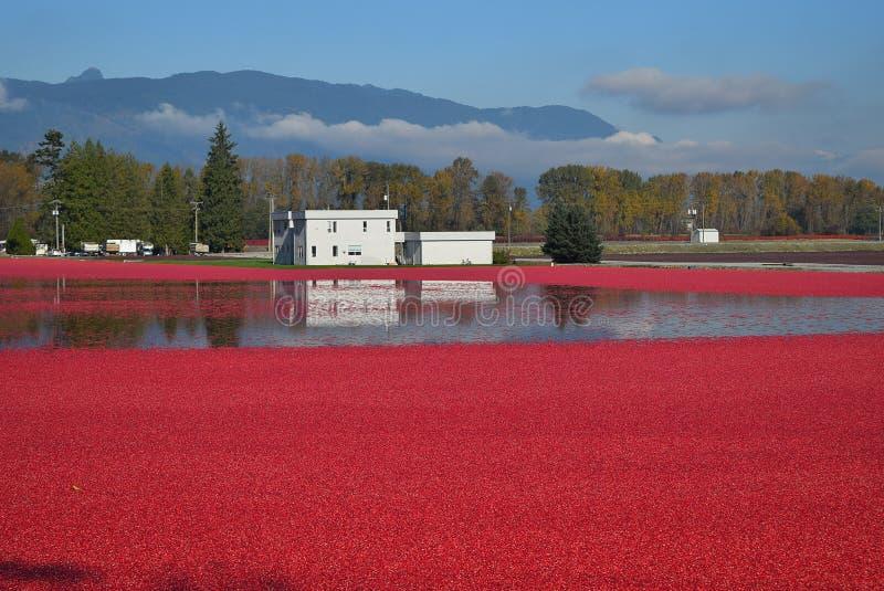 Raccolto fresco del mirtillo rosso fotografia stock libera da diritti