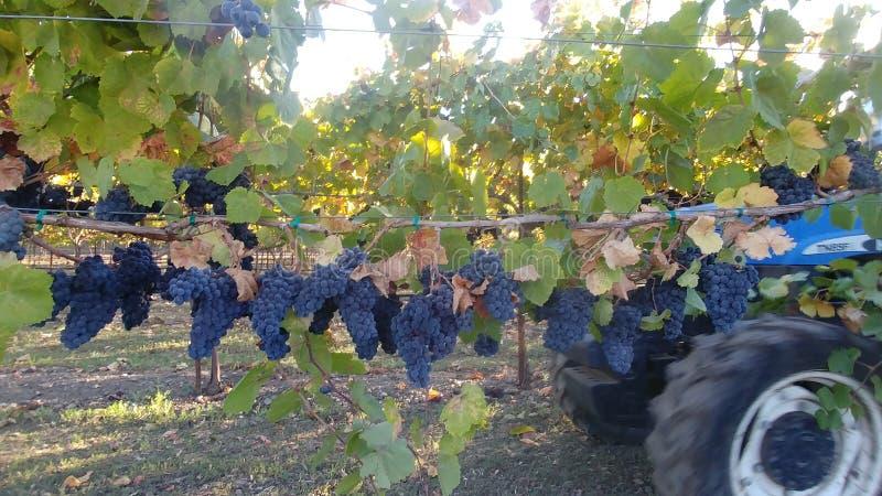 Raccolto NapaValley 2 novembre 2018 Gamay Winegrapes fotografie stock