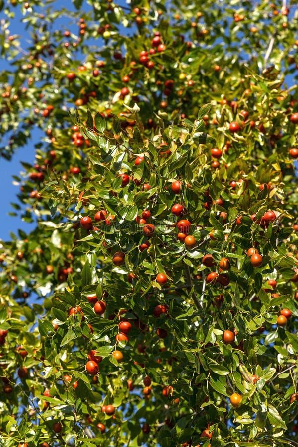 Raccolto ricco della giuggiola su un albero immagini stock libere da diritti