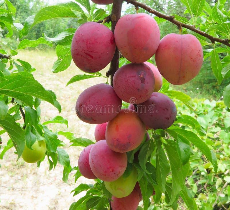 Raccolto ricco delle prugne mature rosse sull'albero immagini stock libere da diritti