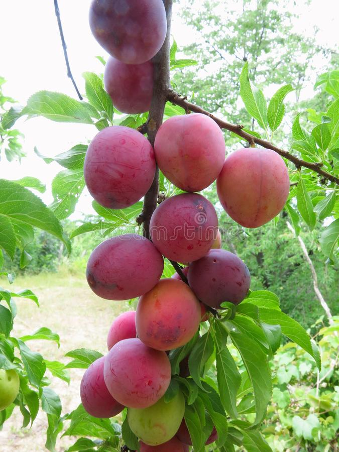 Raccolto ricco delle prugne mature rosse sull'albero immagine stock