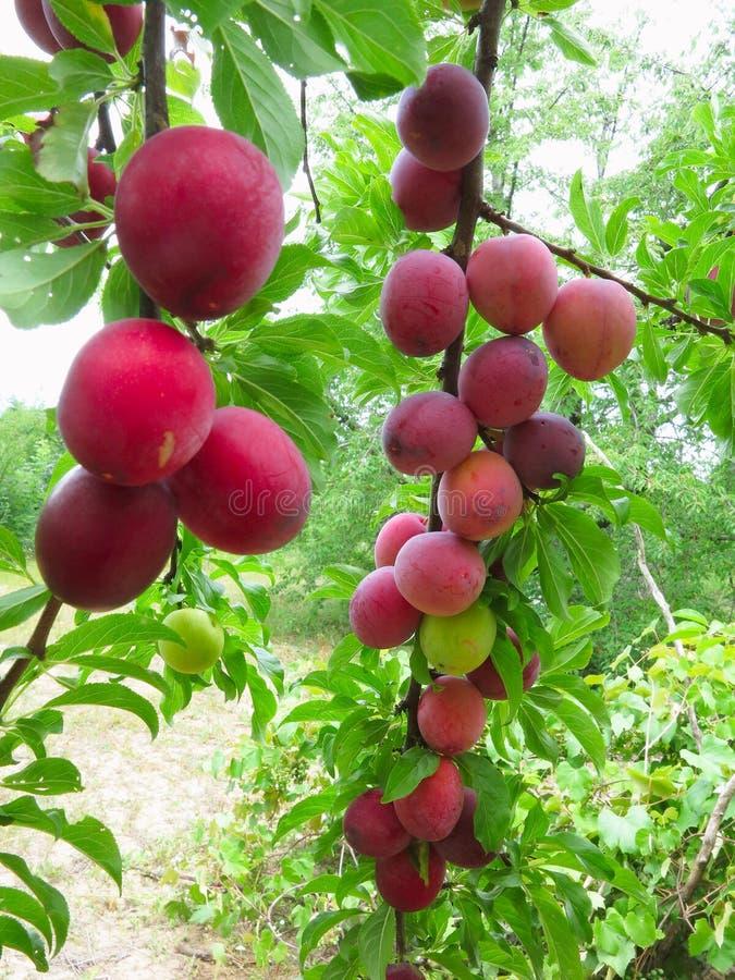 Raccolto ricco delle prugne mature rosse sull'albero fotografie stock libere da diritti