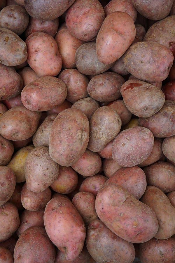 Raccolto rosso delle patate dal plateau di Dieng immagine stock libera da diritti