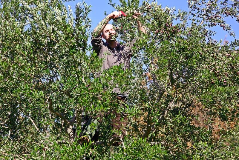 Raccolto verde oliva fotografia stock libera da diritti