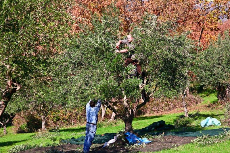 Raccolto verde oliva immagine stock