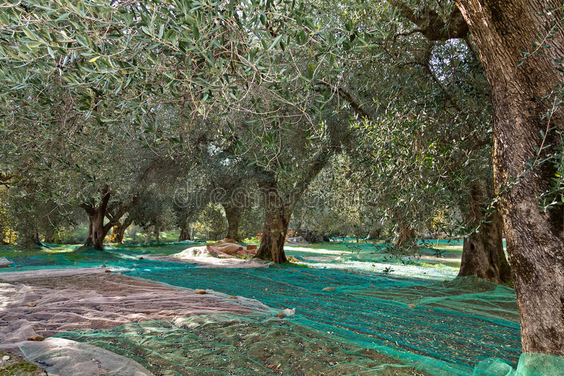 Raccolto verde oliva fotografia stock