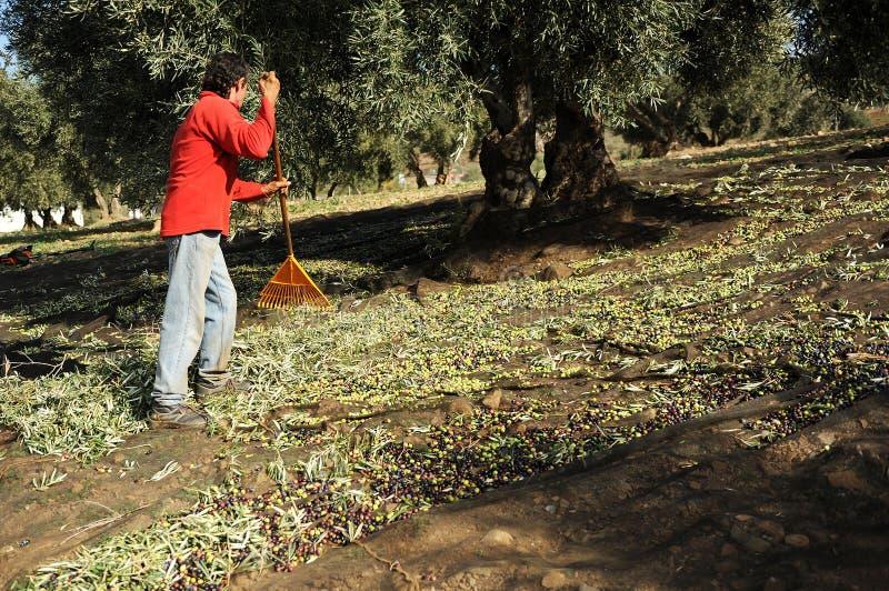 Raccolto verde oliva tradizionale, Andalusia, Spagna fotografia stock libera da diritti