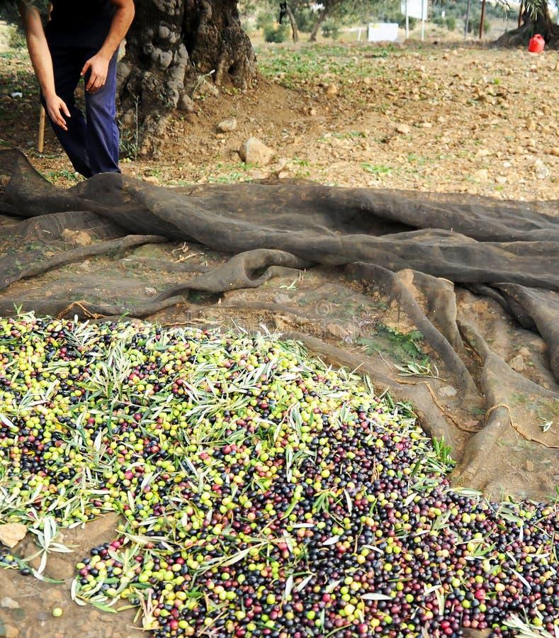 Raccolto verde oliva tradizionale in Andalusia, Spagna fotografia stock