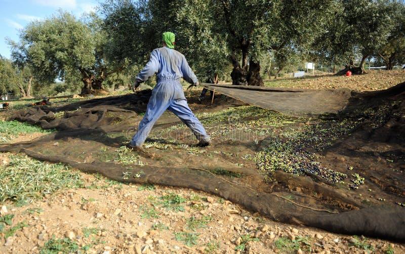 Raccolto verde oliva tradizionale a Jaen, Andalusia, Spagna fotografia stock