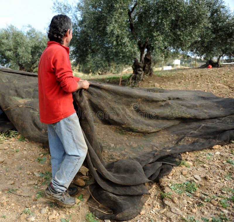 Raccolto verde oliva tradizionale a Jaen, Andalusia, Spagna immagine stock libera da diritti