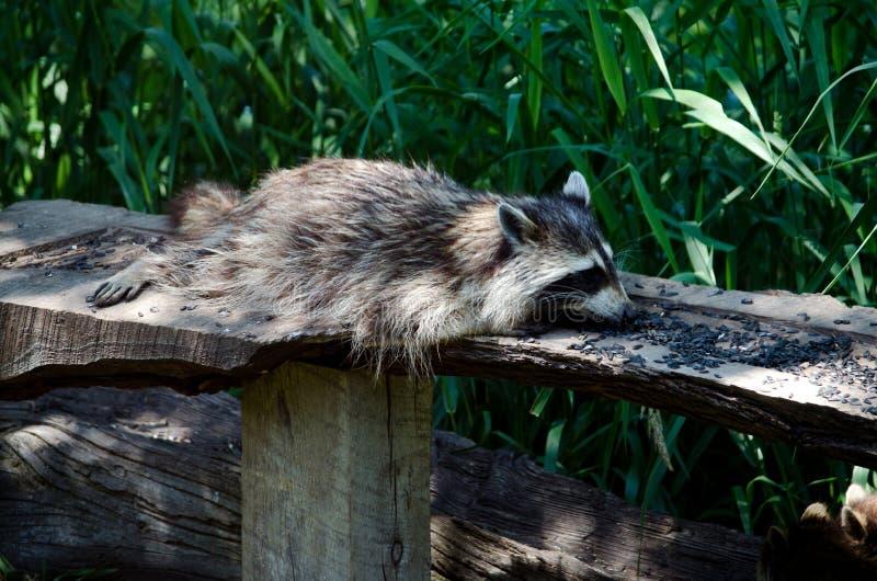 raccoon едока ленивый стоковое изображение rf