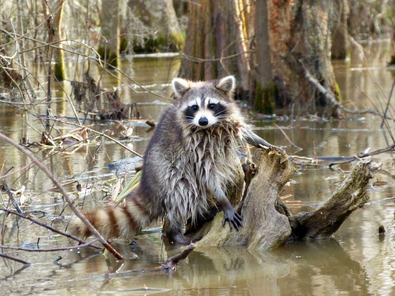 raccoon стоковая фотография
