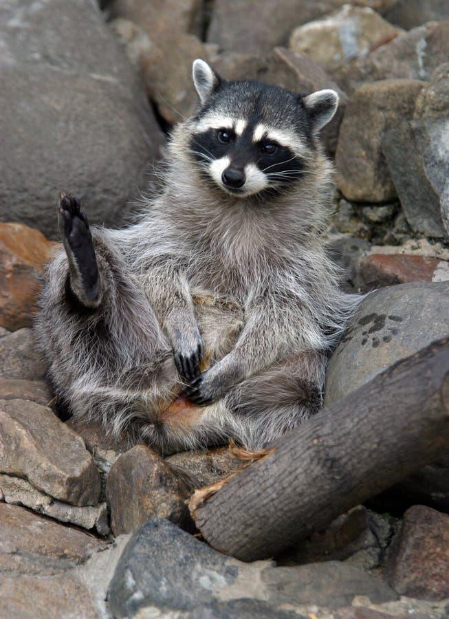 raccoon смешоной стоковое изображение rf
