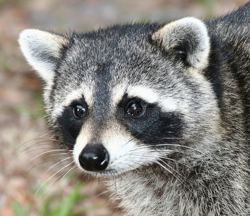 Raccoon stock images