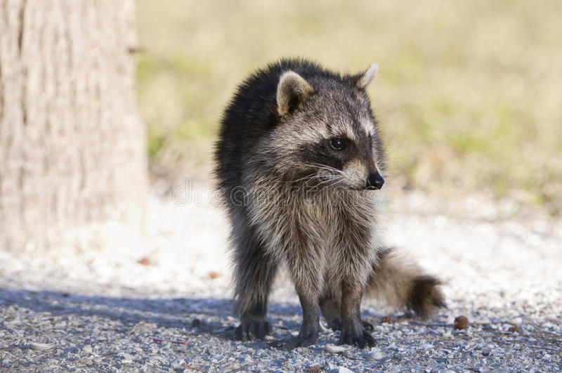 Download Raccoon stock image. Image of tree, palm, coon, fort - 13841251