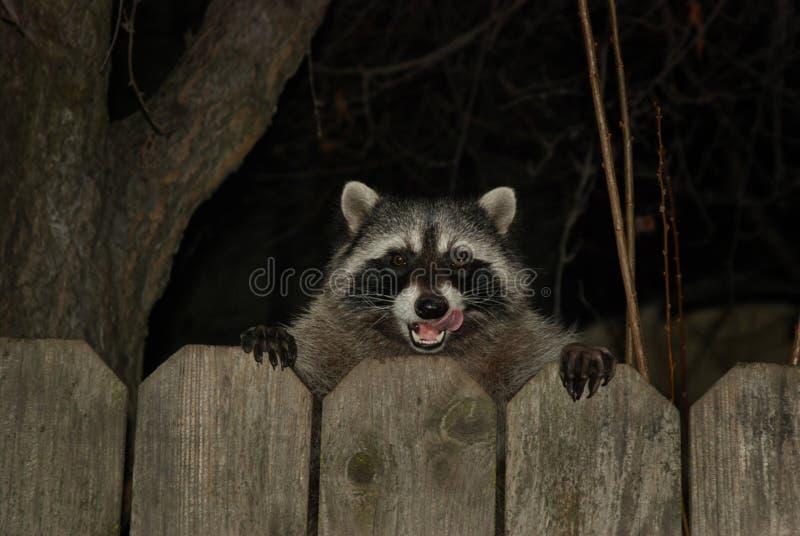 Raccoon Free Public Domain Cc0 Image