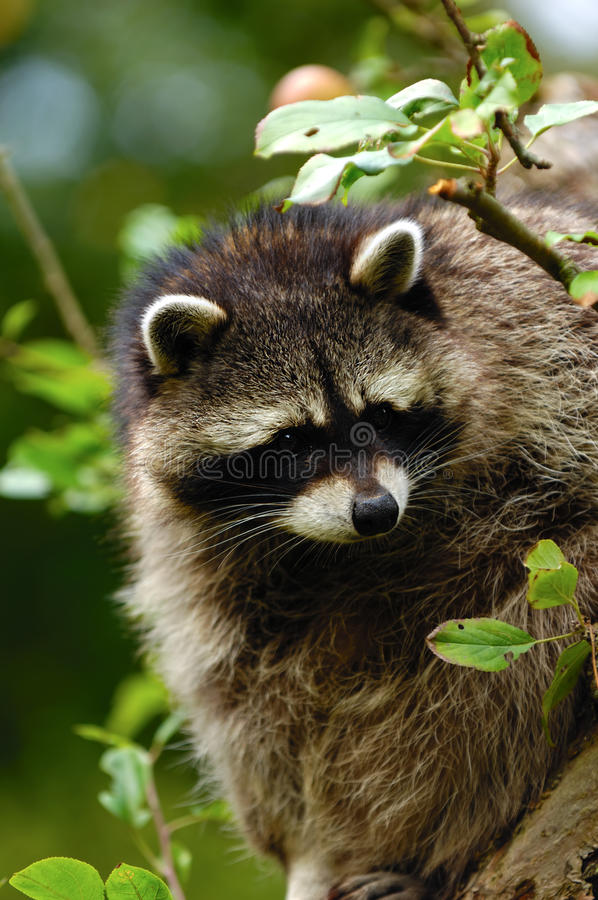 Download Raccoon stock image. Image of washer, nature, mammal - 15883305
