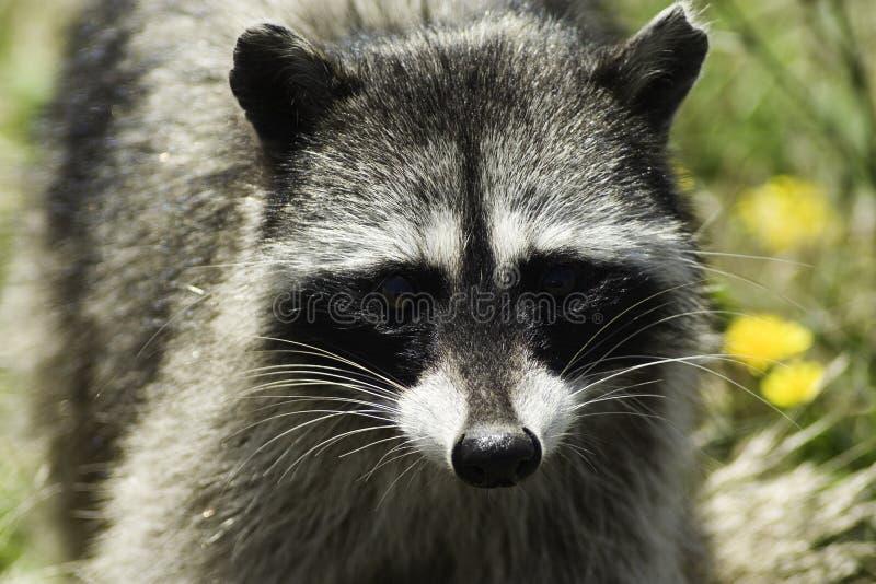Raccoon royalty free stock image