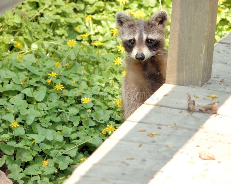 Raccoon. A young raccoon looking unto a nature trail walkway stock photos
