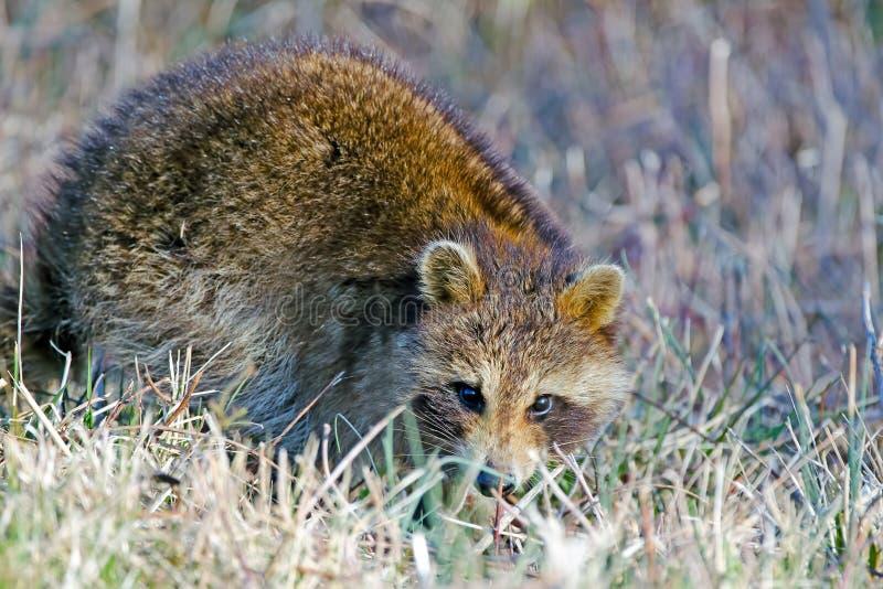 raccoon стоковые изображения rf