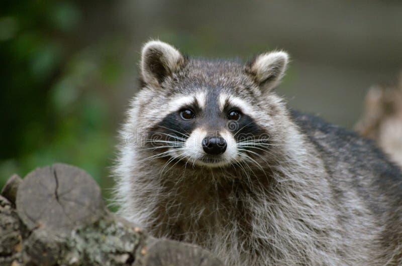 raccoon fotos de stock royalty free