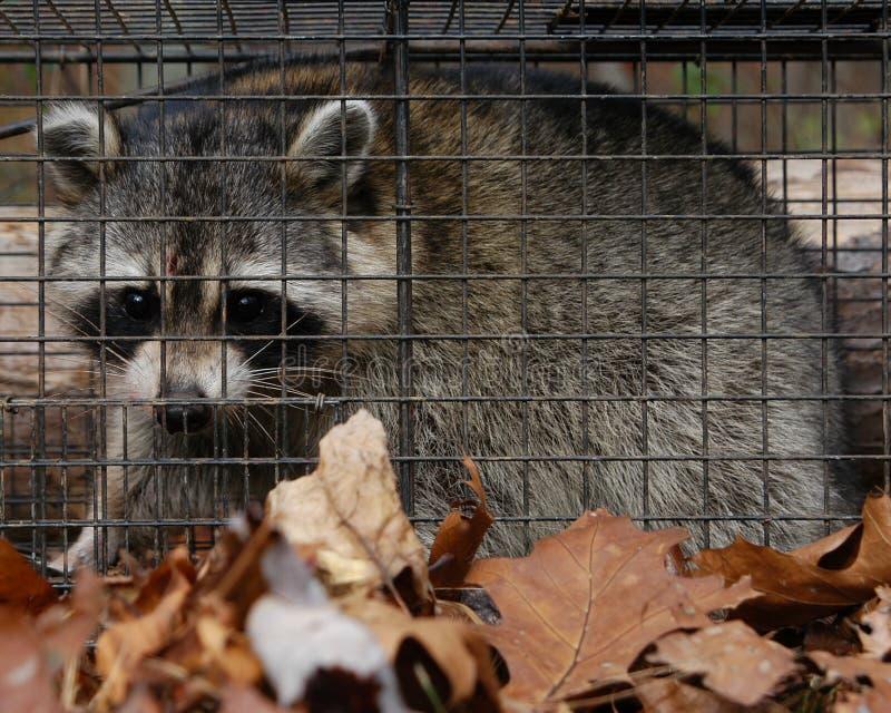 Download Raccoon fotografering för bildbyråer. Bild av caged, wild - 41323