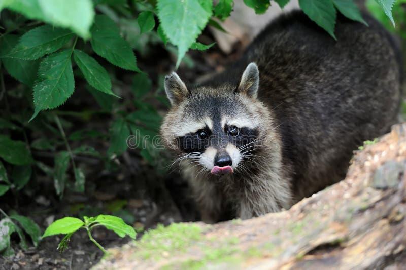 raccoon obraz royalty free