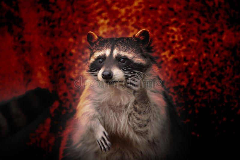 Raccoon. immagini stock libere da diritti