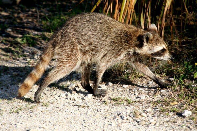 raccoon стоковое фото