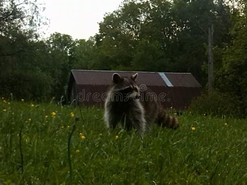 raccoon fotografie stock libere da diritti