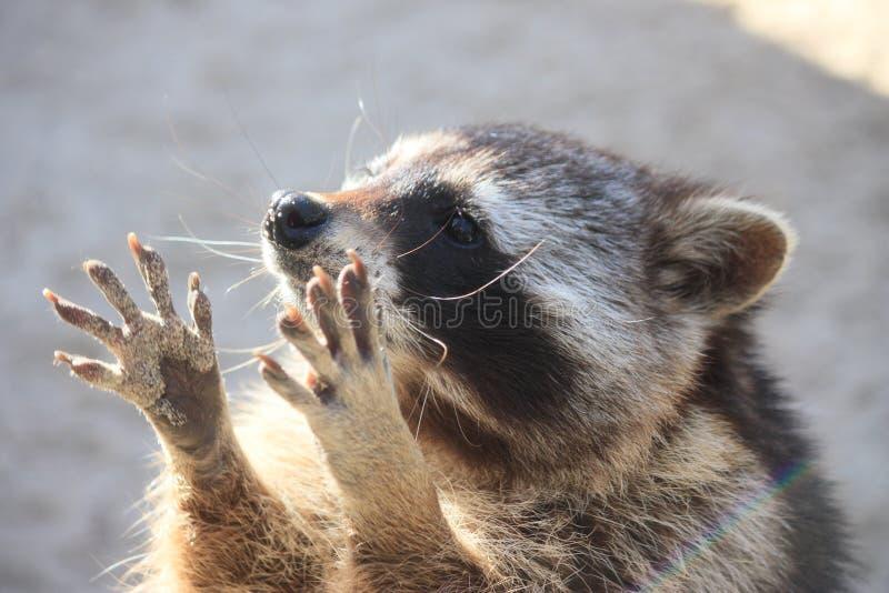 raccoon royalty-vrije stock foto's