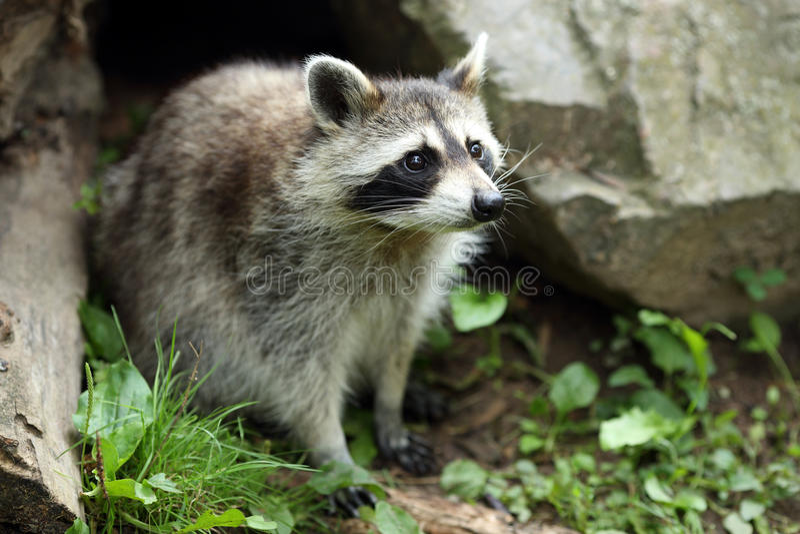 raccoon stockfotos