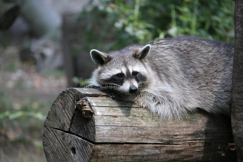 raccoon foto de stock royalty free