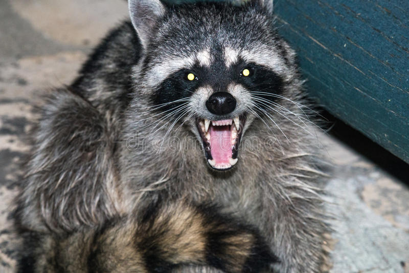 raccoon stockfotografie