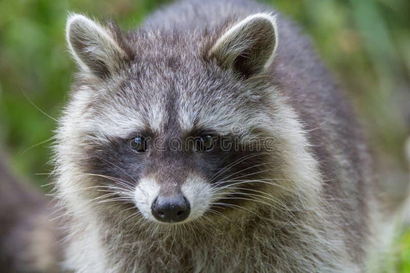 raccoon lizenzfreie stockfotos
