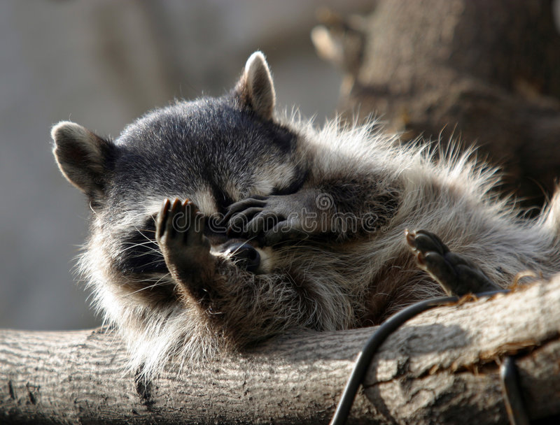 Download Raccoon stock image. Image of head, cute, nature, close - 607627