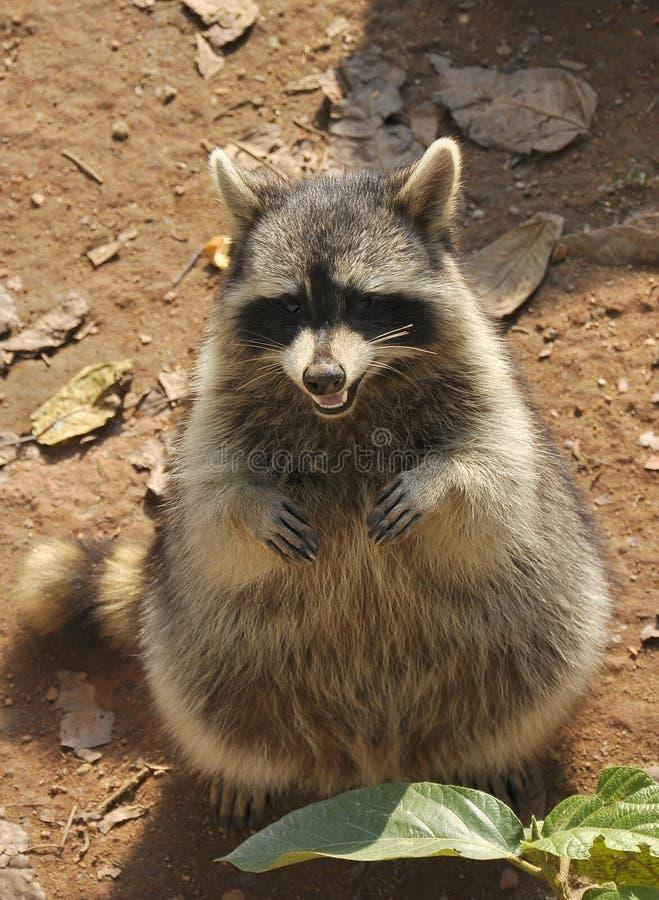 raccoon fotografia stock