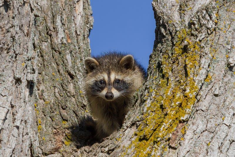raccoon fotografia royalty free