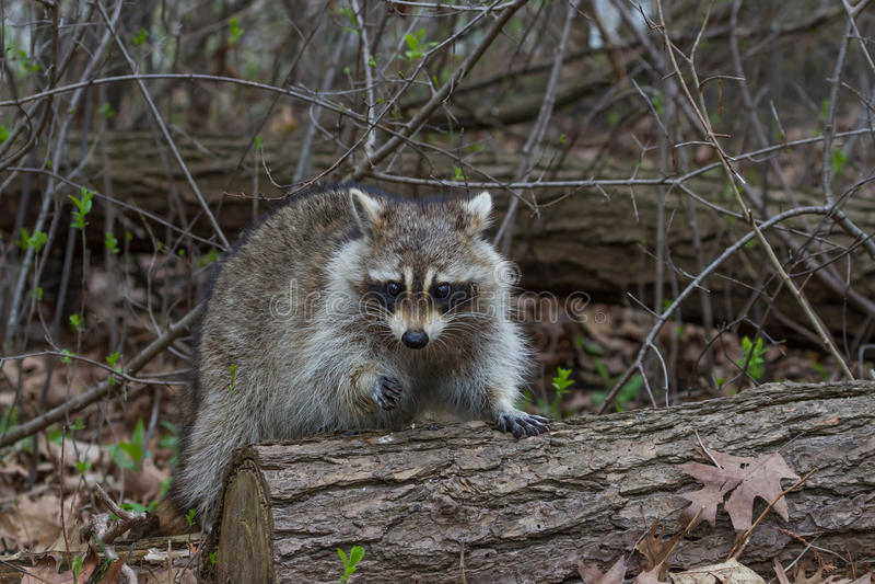 raccoon obrazy royalty free