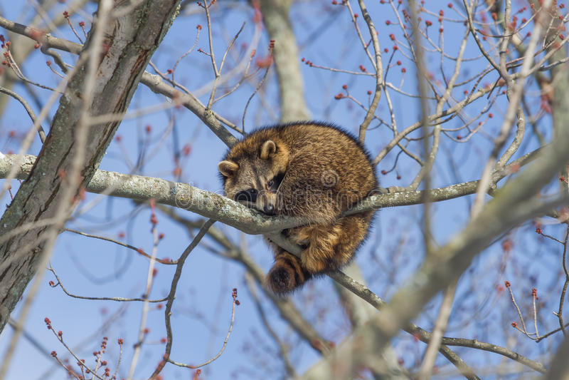 raccoon zdjęcia royalty free