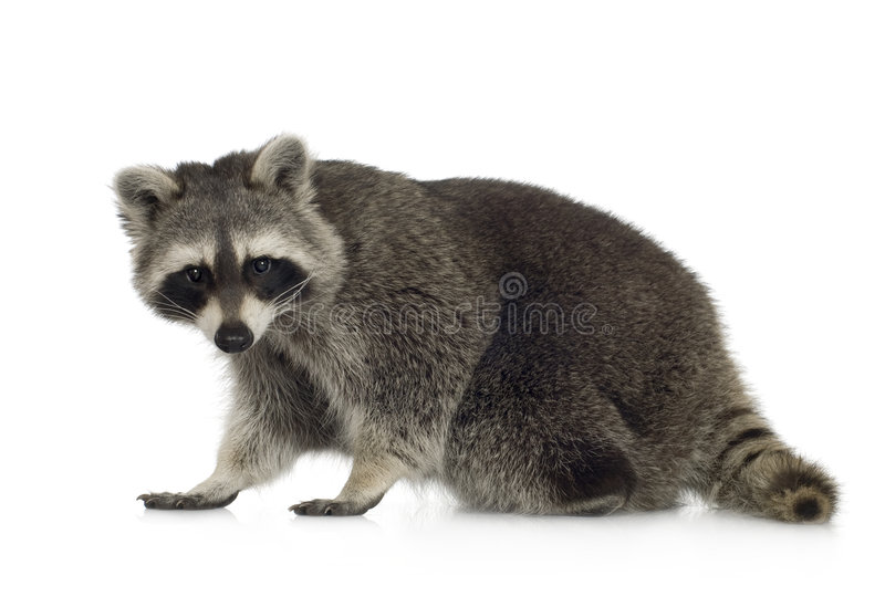 Raccoon (9 meses) - lotor do Procyon fotografia de stock royalty free