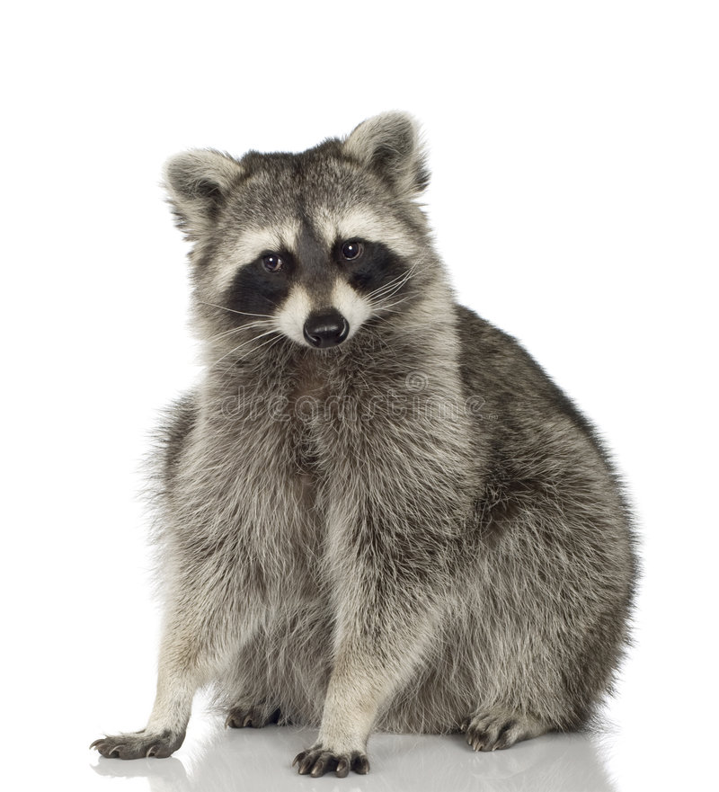 Raccoon (9 meses) - lotor do Procyon imagem de stock