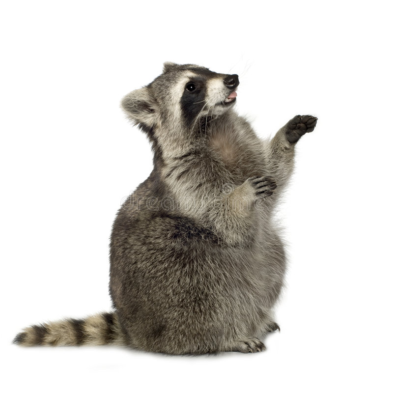 Raccoon (9 meses) - lotor do Procyon foto de stock royalty free