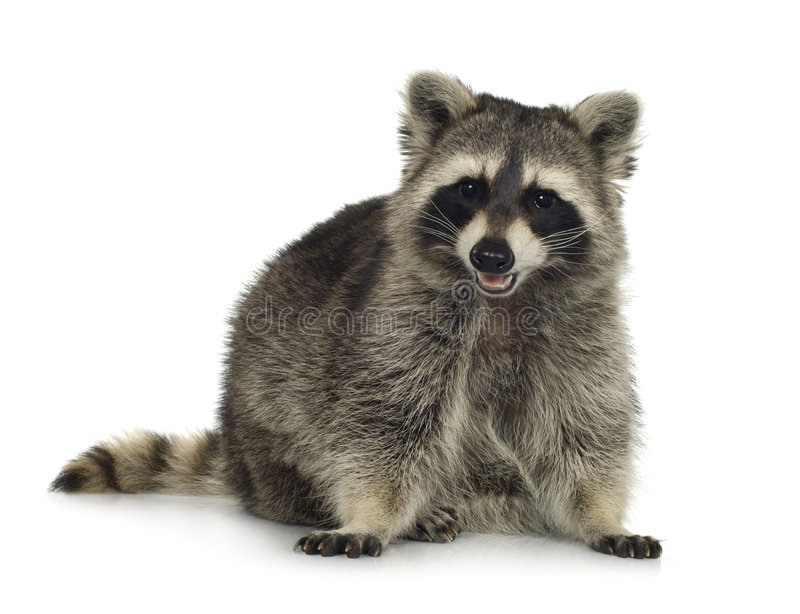 Raccoon (9 mesi) - lotor del Procyon immagine stock