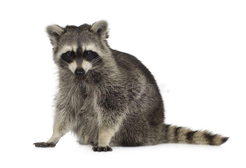 Raccoon (9 mesi) - lotor del Procyon fotografie stock